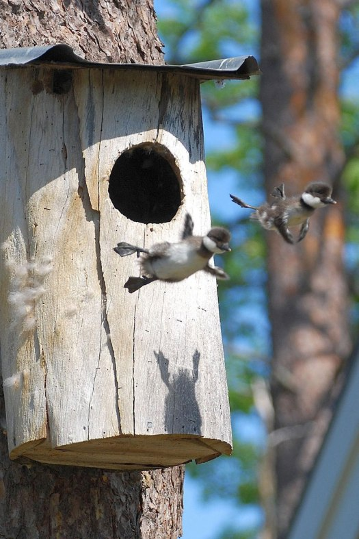 baby common goldeneye ducks leaving the nest flying for the first time